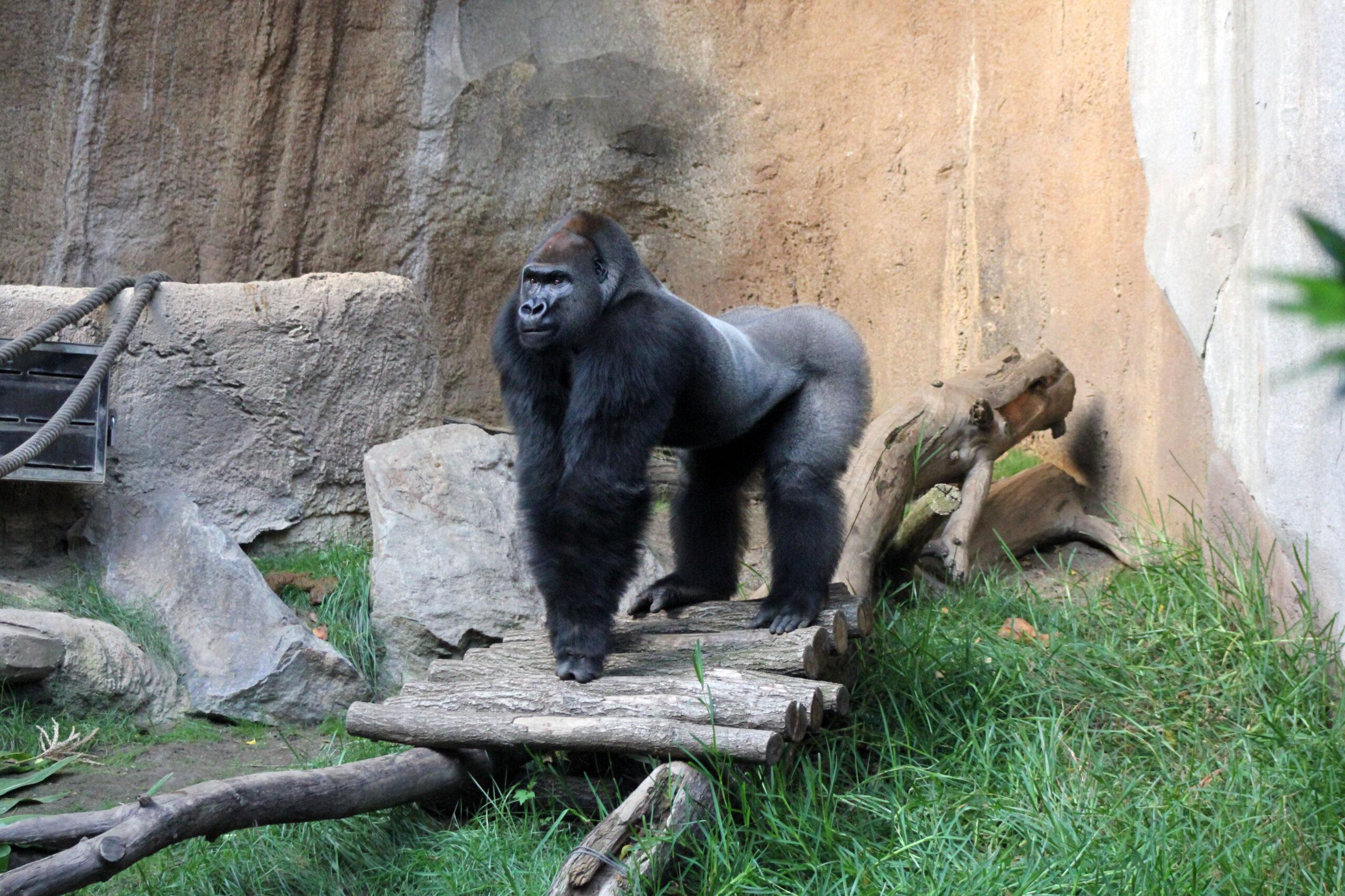 Audiospaziergang durch den Zoo Leipzig: Ein Gorillamännchen steht auf allen Vieren im Gehege und schaut aufmerksam in die Ferne. Sein Rücken ist silber, seine Statur sehr kräftig. Um ihn herum befinden sich Äste, große Steine und Seile zum Klettern.