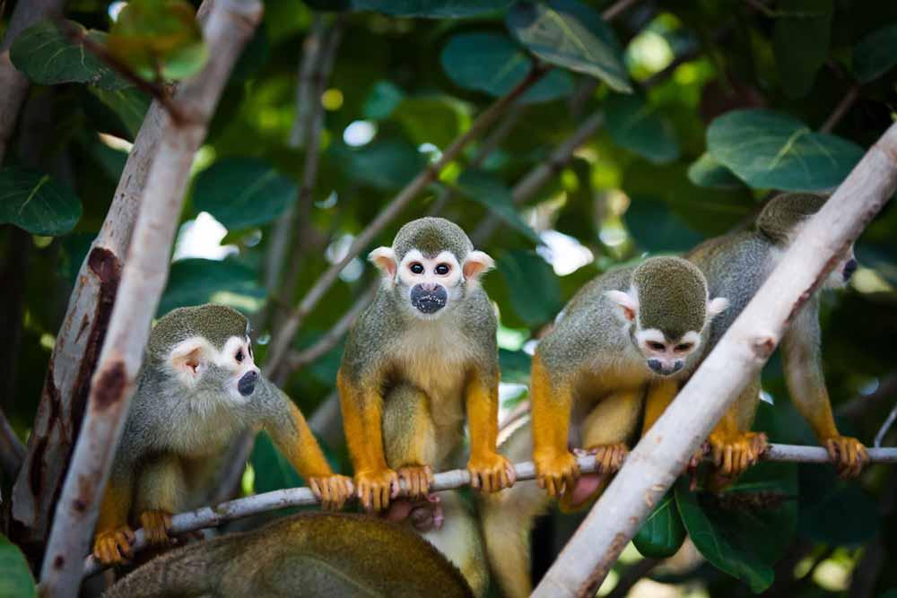 Audiospaziergang durch den Zoo Leipzig: Vier Totenkopfaffen sitzen auf einem Ast. Im Hintergrund sind viele Blätter eines tropischen Baumes zu sehen. Eines der Äffchen schaut in die Kamera, der Rest in verschiedene Richtungen. Die Affen haben ein weißes Gesicht, welches an einen Totenkopf erinnert, gelb-orangene Arme und Hände und am Rest des Körpers ein dunkelgrün-graues Fell.
